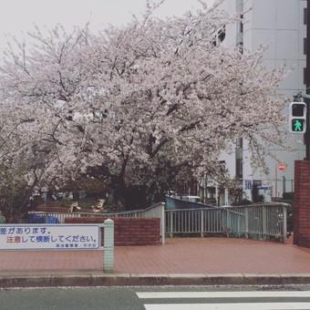 sakura.jpgのサムネイル画像